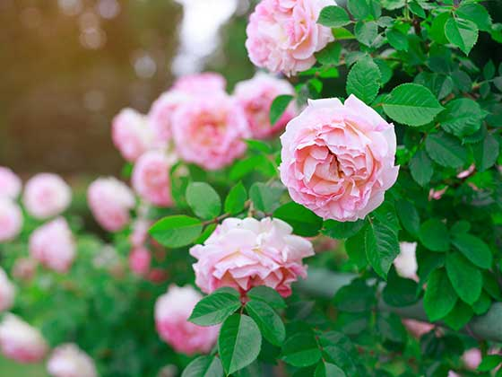 A selection of Pink Roses